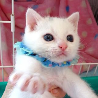 可愛い白子猫☆令央(レオ)くん 1ヵ月半