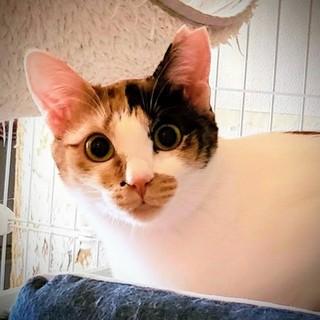 まん丸お目々の美猫☆葉月ちゃん2歳