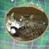 可愛いキジ猫の女の子♩ サムネイル5