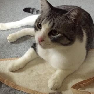 落ち着いておっとり大らかな飼いやすい猫