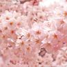cherry-blossomさん