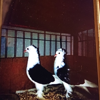 フリルバック観賞鳩の限定募集