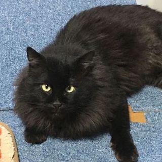 超めずらしい黒の長毛の成猫ちゃん オス
