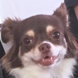 保護犬ナンバーD1240 チワワ