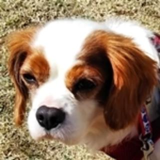 保護犬ナンバーD1324 キャバリア