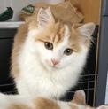 【一時募集停止】ふわふわ甘えん坊の茶白猫ミッツ