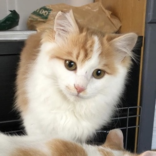 ふわふわ甘えん坊の茶白猫ミッツ