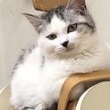 美形、美被毛のキジ白猫リク