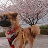 桜とゆずちゃん 風が強い〜(*_*;