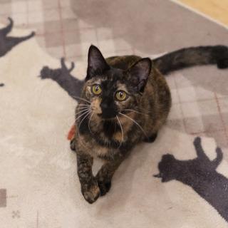 さび猫の マカロンちゃんです♪