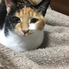 毎日飽きない!とにかく可愛い三毛猫いとちゃん✨ サムネイル3
