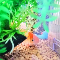 金魚1号、2号