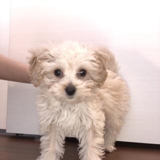 [子犬]まるぷー とても可愛い子です!