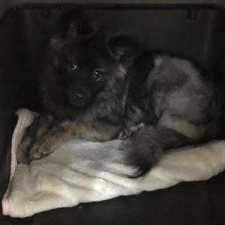 生後5〜6ヶ月の可愛い子犬、カービー君