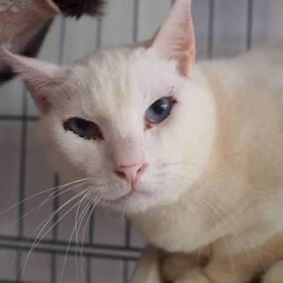 【レレ】ブルーアイのビビり白猫くん