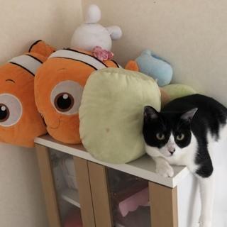 猫ちゃん☆ハチワレ メス 去勢済み