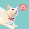 綺麗なブルーアイの白猫ちゃん【5ヵ月】