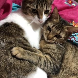 姉妹猫の里親募集中!
