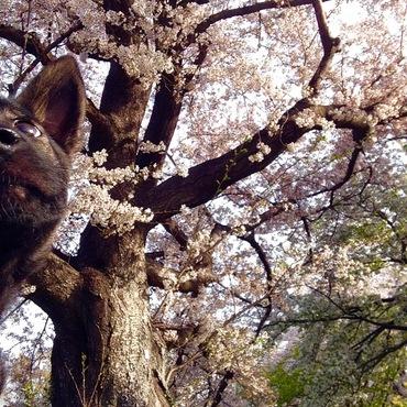 吉見の桜堤公園の桜トンネルくぐったよ