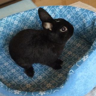 3歳のミニウサギ