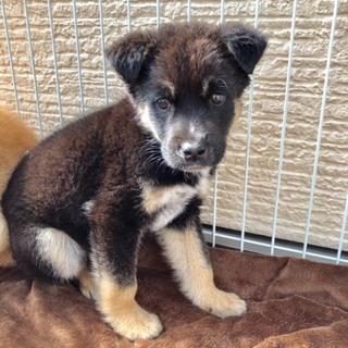 生後2か月仔犬 男の子