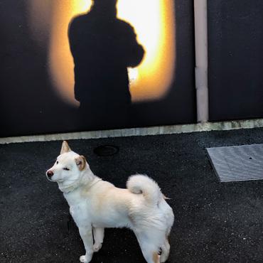 かわいいオスの子犬白い柴犬ですが自身の体が崩したので手放しする以外仕方がなく