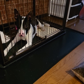 MIX犬 8ヶ月 男の子