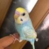 セキセイインコ若鳥里親様決定しました!