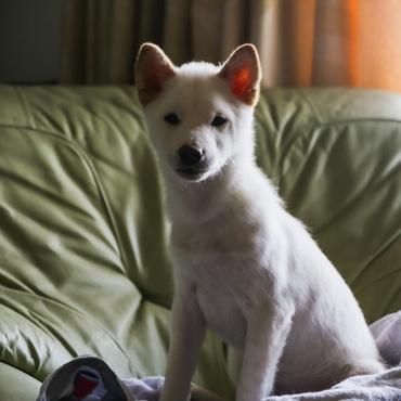 7ケ月未満の白い柴犬。さんぽがすきで、優しい里親をお待ちしています。