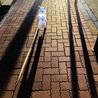 散歩好きな柴犬