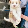 大型犬仔犬 生後2か月男の子 サムネイル2