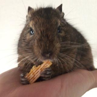 甘えん坊のデクーマウス2歳
