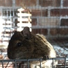 甘えん坊のデクーマウス2歳  サムネイル2