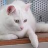 白猫「あさ」女の子 1歳 サムネイル3