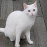 白猫「あさ」女の子 1歳 サムネイル5