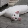 白猫「あさ」女の子 1歳 サムネイル6