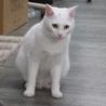 白猫「あさ」女の子 1歳 サムネイル4