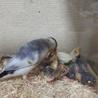 翼が白桜文鳥雛 サムネイル6