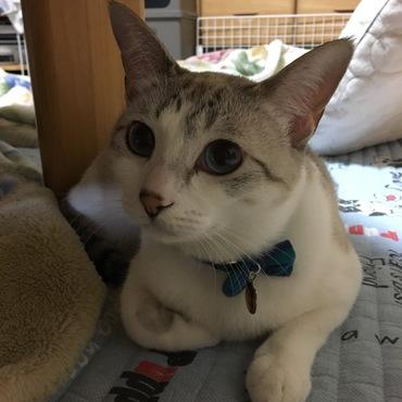 かりんちゃんはヒトだったらモテる類いの美人。猫界ではどうなのかなぁ?4/16 かりんちゃん4.6キロ むぎ君5.1キロ息子に抜かれました。