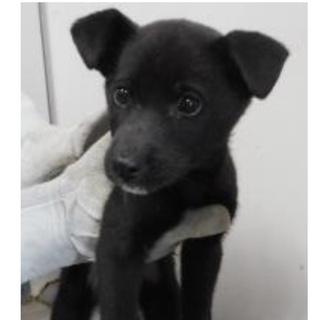 里親様を待っています。子犬♂MIX黒白