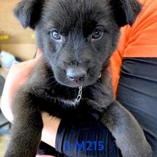 M215 可愛い子犬です。