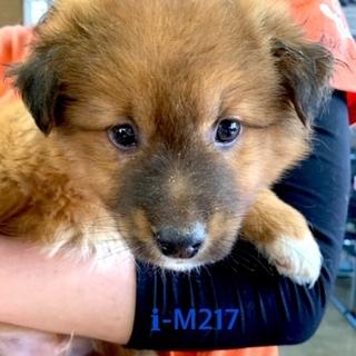 M217 可愛い子犬です。