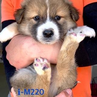 M220 可愛い子犬です。