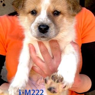 M222 可愛い子犬です。