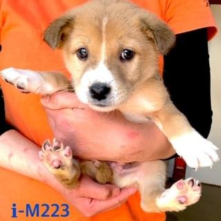 M223 可愛い子犬です。