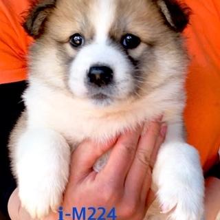 M224 可愛い子犬です。