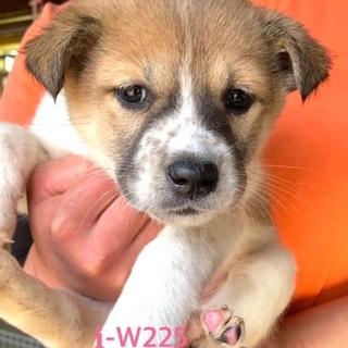 W225 可愛い子犬です。