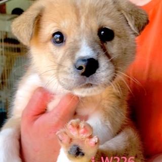 W226 可愛い子犬です。
