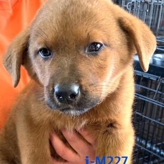 M227 可愛い子犬です。