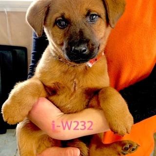 W232 可愛い子犬です。